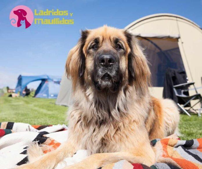 cuida la seguridad de tu perro mientras acampas