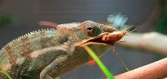 La alimentación del camaleón - Reptiles
