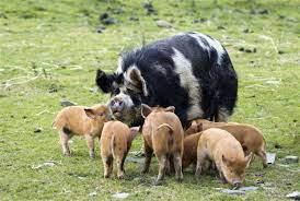 Tener un cerdo Kunekune mascota - Cómo crear un hogar feliz para tu mascota.