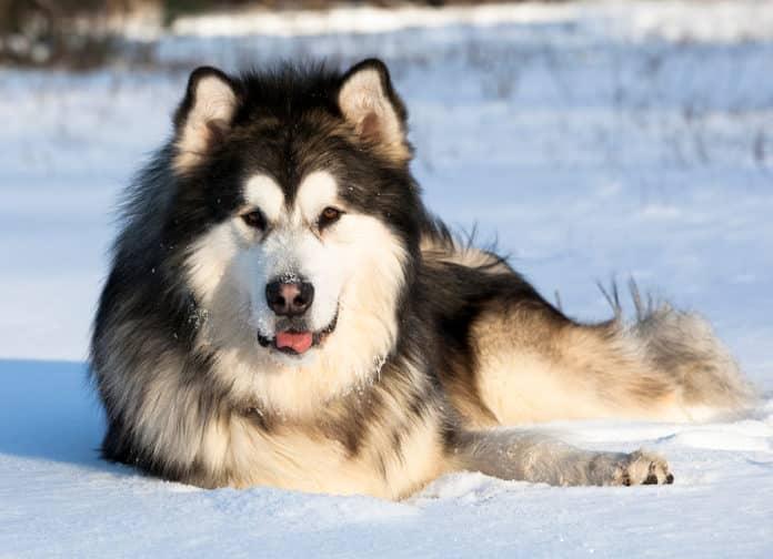 raza de perro alaskan malamute