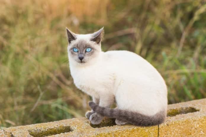 raza de gato siames